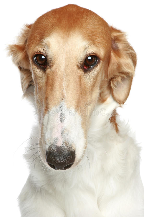 Cão do Borzoi do russo. Retrato principal do close-up do perfil imagens de stock