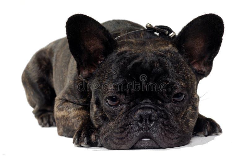 Cão do buldogue francês no fundo branco imagens de stock royalty free