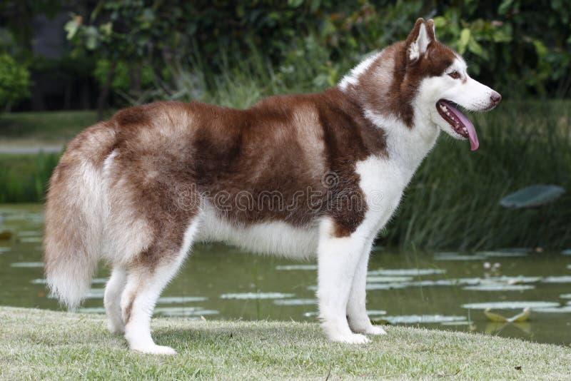 Cão do cão de puxar trenós Siberian imagens de stock