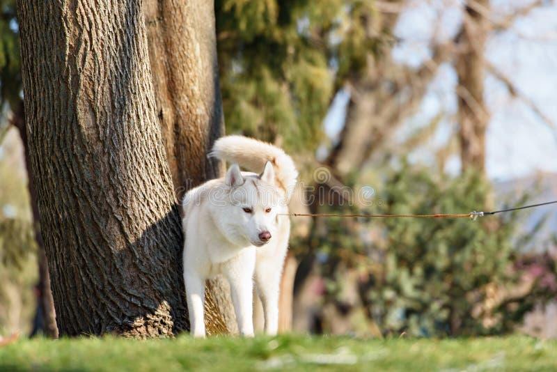 Cão do cão de puxar trenós Siberian no outdoore foto de stock royalty free