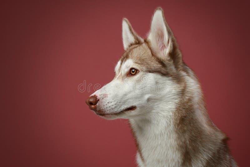 Cão do cão de puxar trenós Siberian. Retrato do Close-up imagem de stock