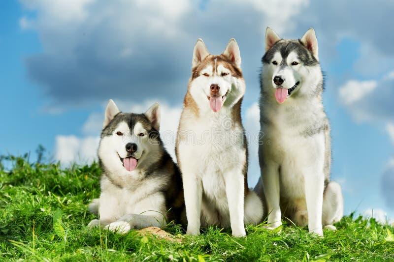 Cão do cão de puxar trenós três Siberian na grama imagens de stock royalty free