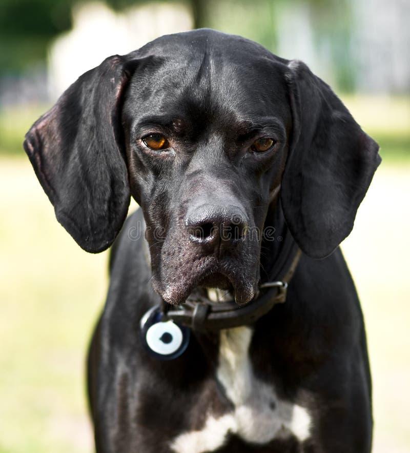 Cão do caçador foto de stock