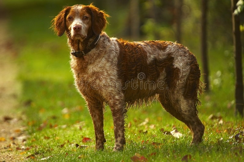 Cão do caçador fotos de stock
