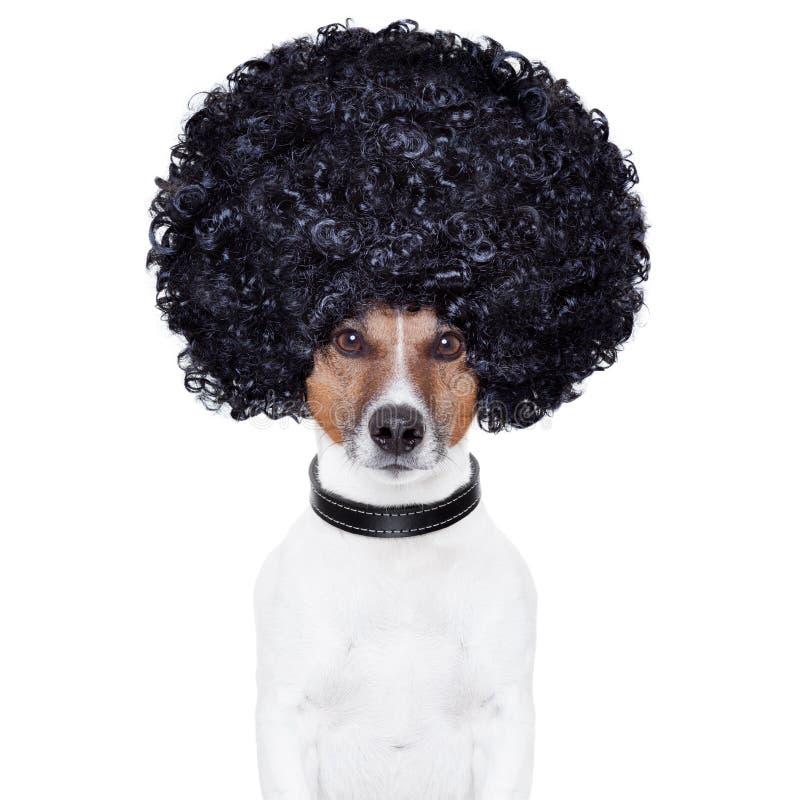 Cão do cabelo do olhar do Afro engraçado imagem de stock royalty free