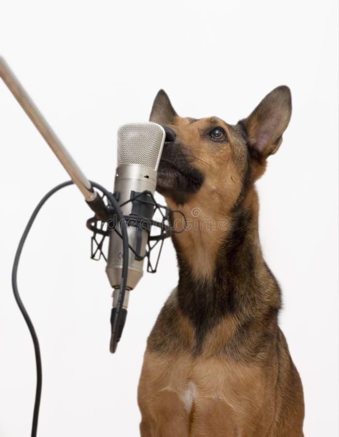 Cão do canto imagens de stock royalty free