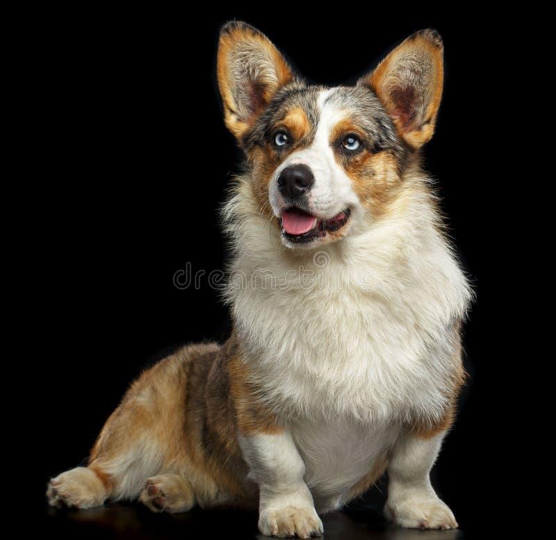 Cão do casaco de lã do Corgi de Galês isolado no fundo preto imagem de stock