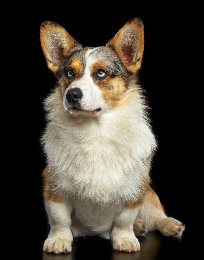 Cão do casaco de lã do Corgi de Galês isolado no fundo preto fotografia de stock royalty free