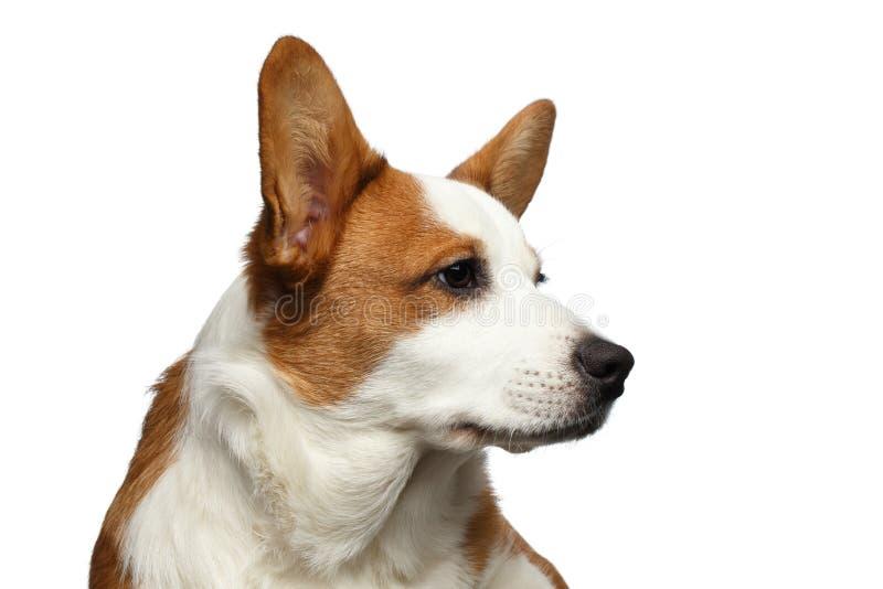 Cão do casaco de lã do Corgi de Galês no fundo branco isolado fotos de stock