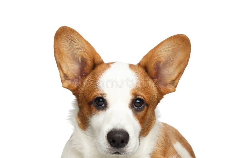 Cão do casaco de lã do Corgi de Galês no fundo branco isolado foto de stock