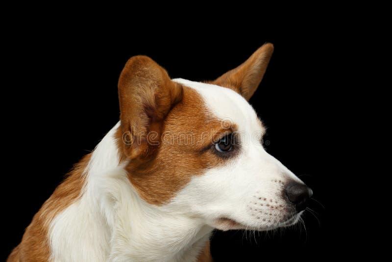 Cão do casaco de lã do Corgi de Galês no fundo preto isolado imagem de stock royalty free