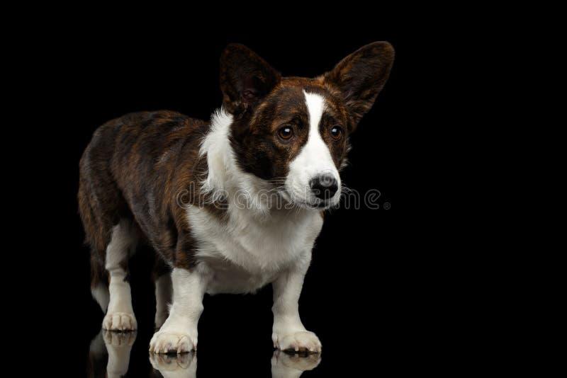 Cão do casaco de lã do Corgi de Galês no fundo preto isolado imagem de stock