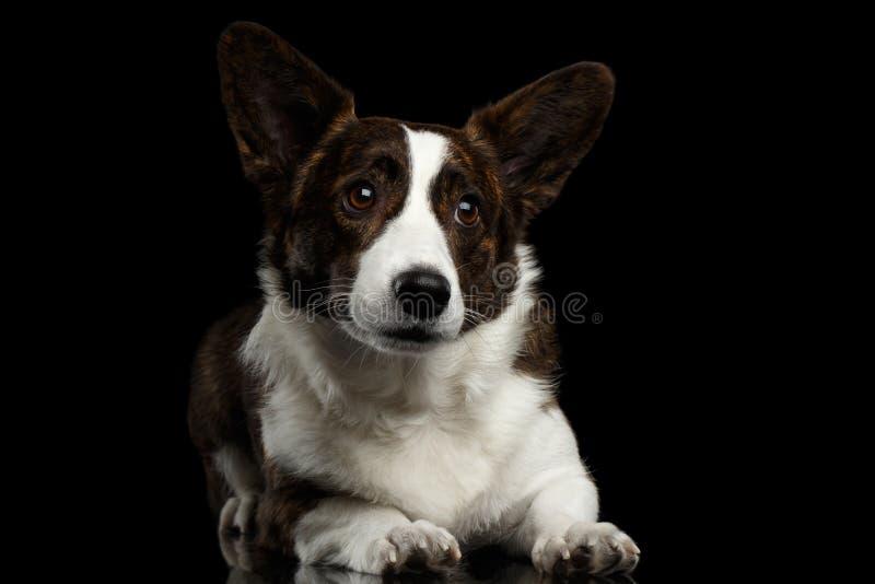 Cão do casaco de lã do Corgi de Galês no fundo preto isolado foto de stock royalty free