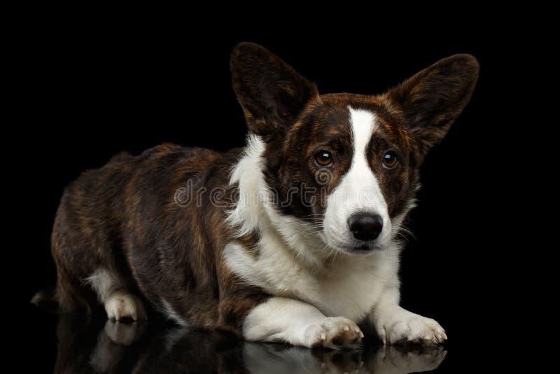 Cão do casaco de lã do Corgi de Galês no fundo preto isolado fotos de stock royalty free