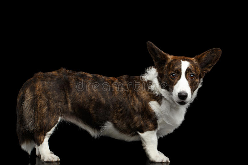 Cão do casaco de lã do Corgi de Galês no fundo preto isolado fotografia de stock