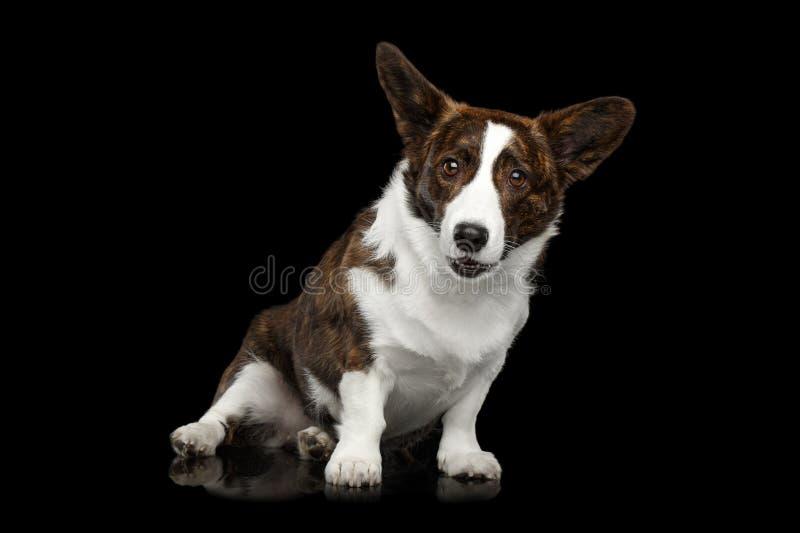 Cão do casaco de lã do Corgi de Galês no fundo preto isolado imagens de stock royalty free