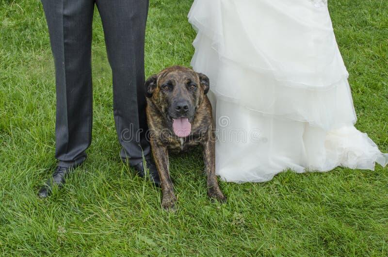 Cão do casamento foto de stock royalty free