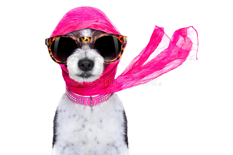 Cão do chique da diva imagem de stock