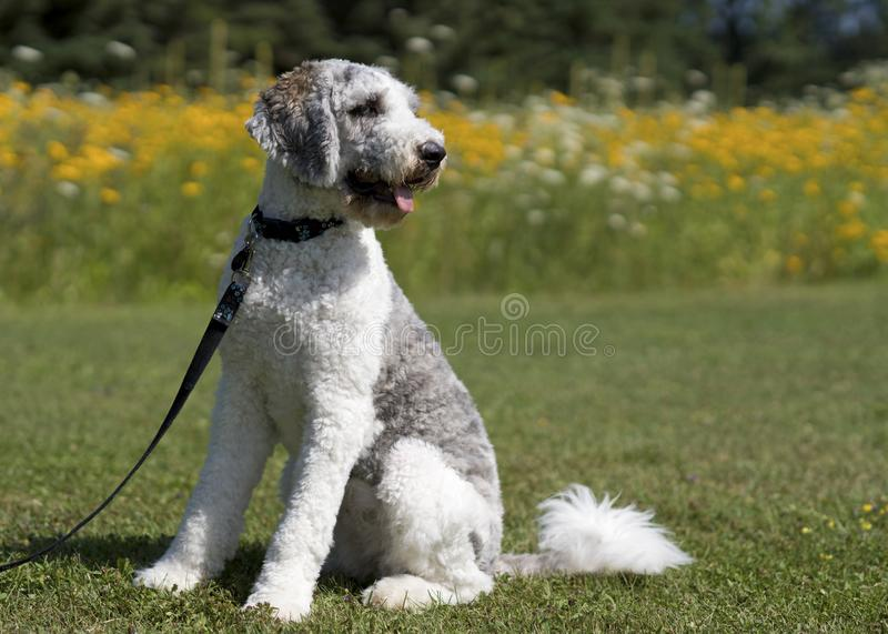 Cão do cinza e o branco na trela no parque imagem de stock royalty free