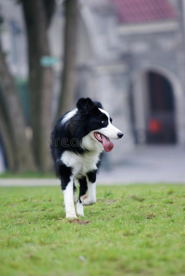 Cão do collie de beira com pastagem foto de stock