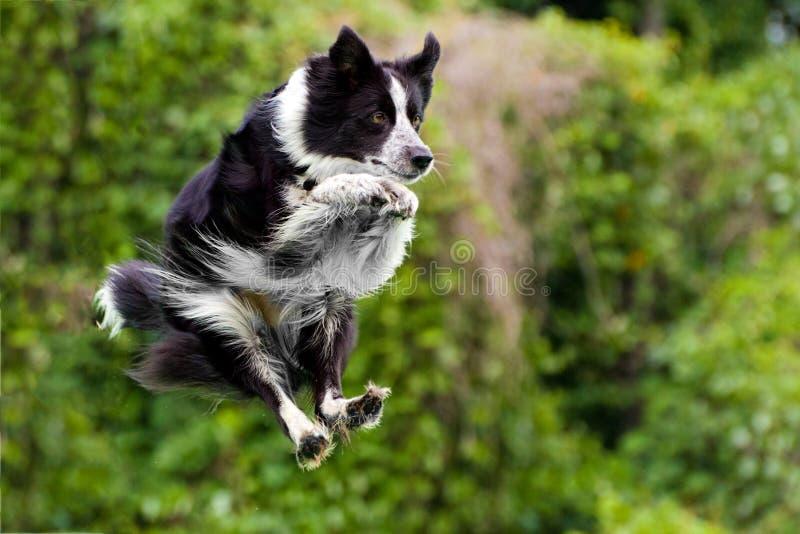 Cão do collie de beira no meio do ar após o salto imagens de stock royalty free