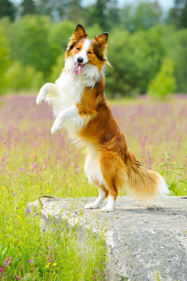 Cão do collie de beira que eleva acima na pedra imagem de stock