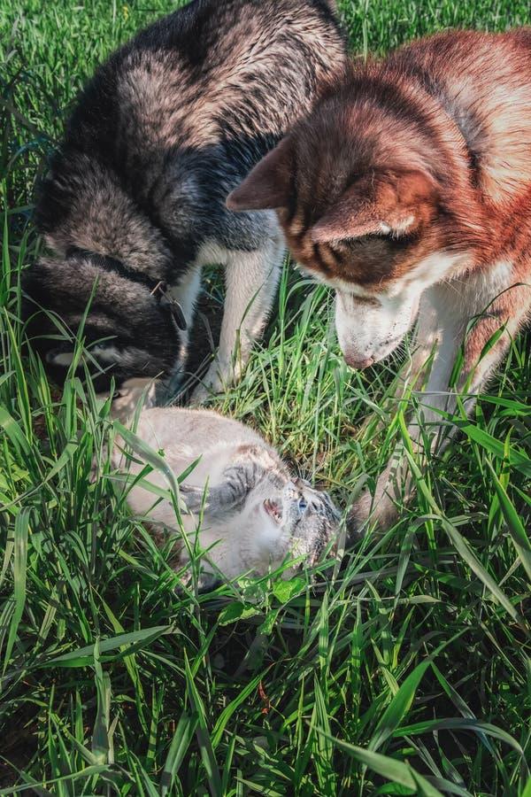 Cão do conflito do conceito contra o gato Gato cercado e ataque de dois cães de puxar trenós Siberian Os silvos irritados do gato fotografia de stock royalty free