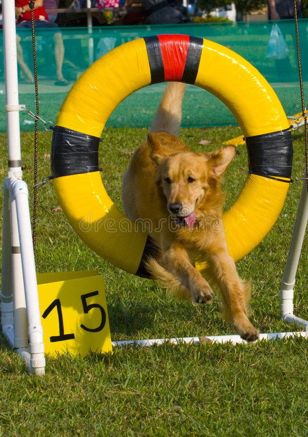 Cão do conluio imagem de stock royalty free