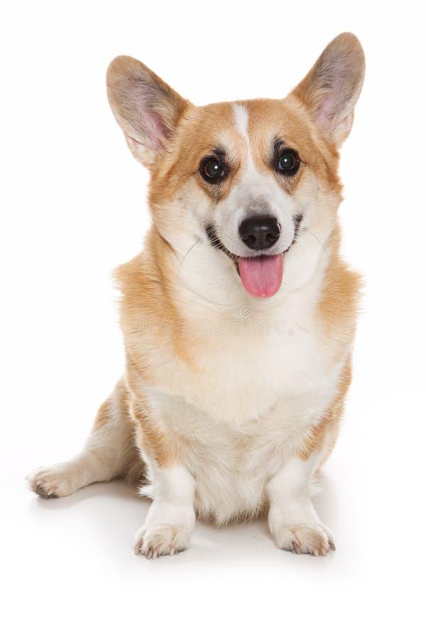 Cão do Corgi imagem de stock