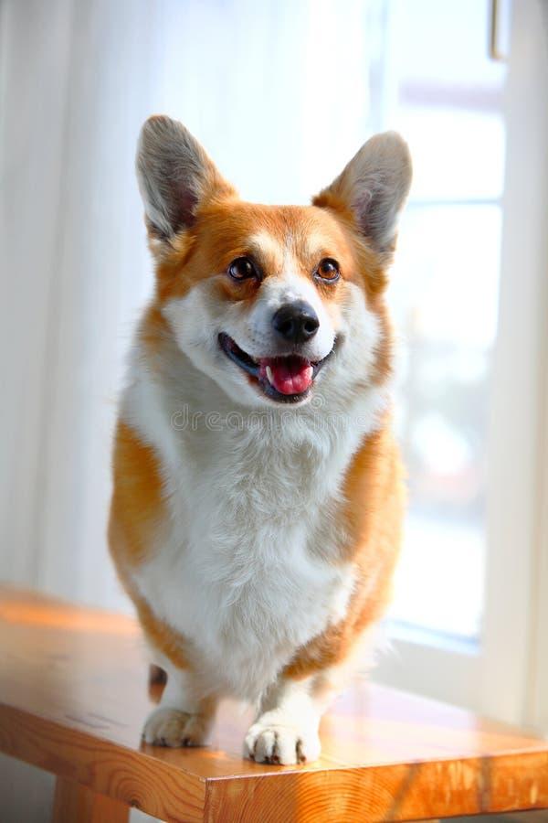 Cão do Corgi foto de stock royalty free