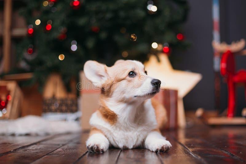 Cão do Corgi com árvore do Feliz Natal imagens de stock