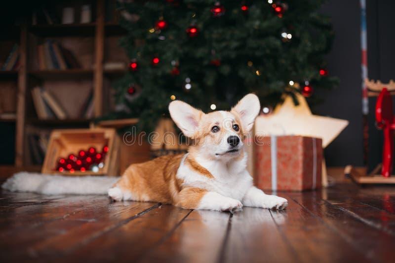 Cão do Corgi com árvore do Feliz Natal imagens de stock royalty free