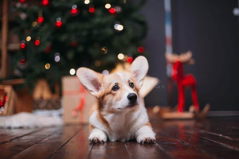 Cão do Corgi com árvore do Feliz Natal fotos de stock royalty free