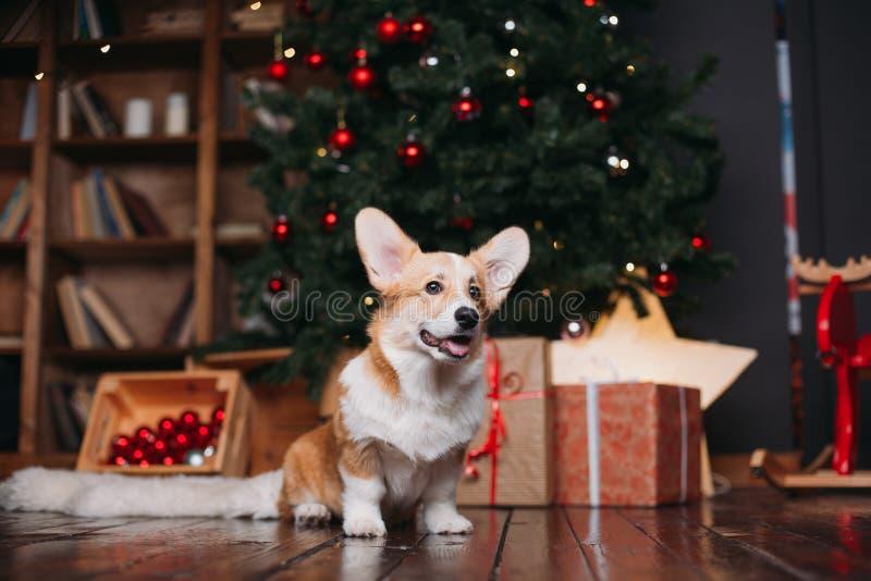 Cão do Corgi com árvore do Feliz Natal fotografia de stock royalty free