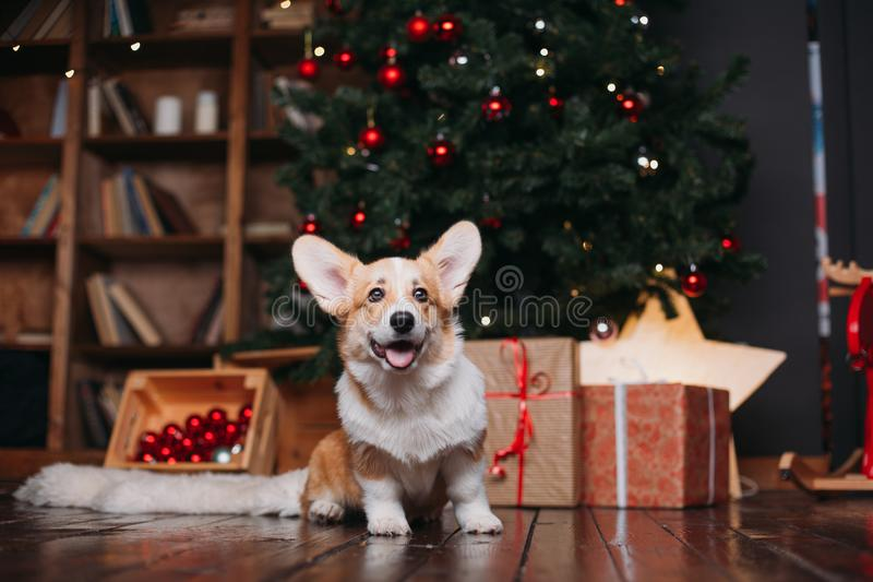 Cão do Corgi com árvore do Feliz Natal fotografia de stock