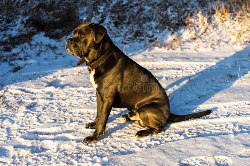 Cão do corso do bastão que senta-se em uma neve imagem de stock