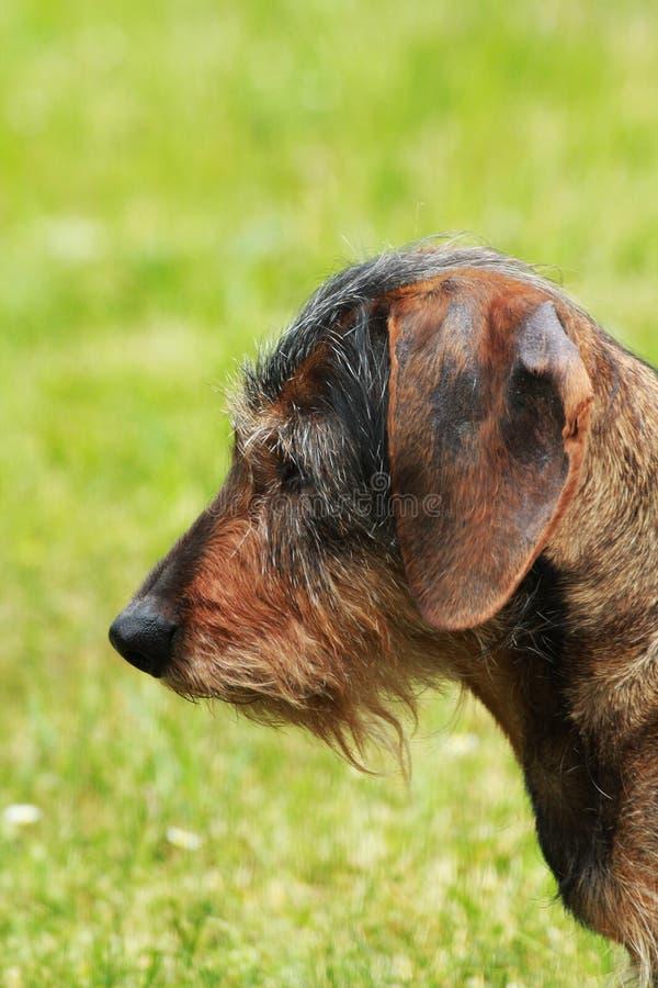 Cão do Dachshund imagem de stock