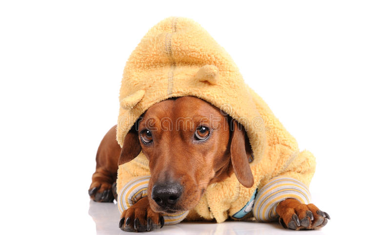 Cão do dachshund de Brown fotos de stock