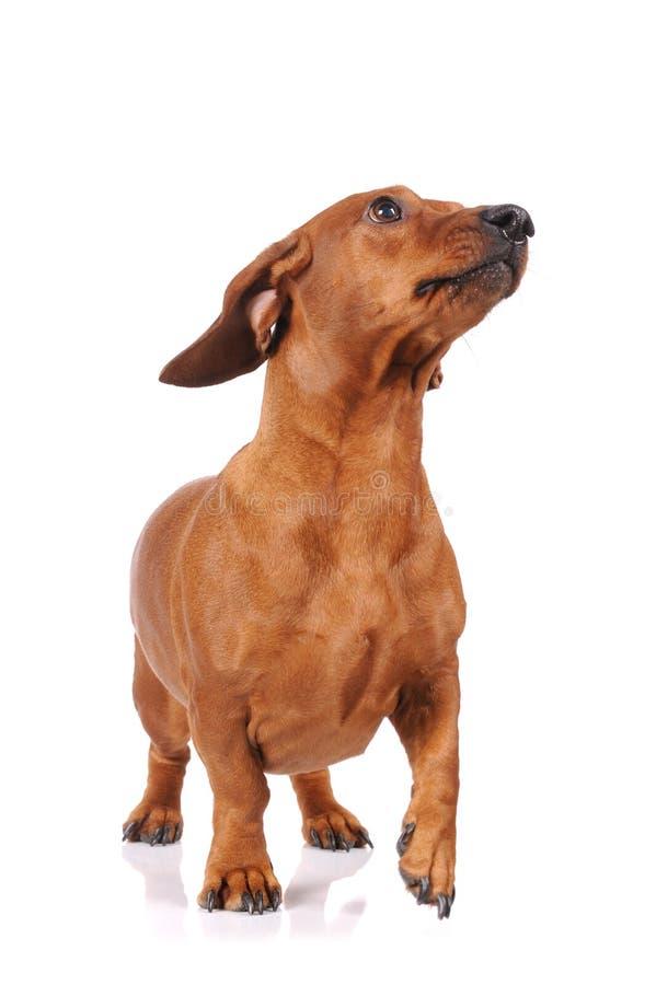 Cão do dachshund de Brown isolado imagens de stock royalty free