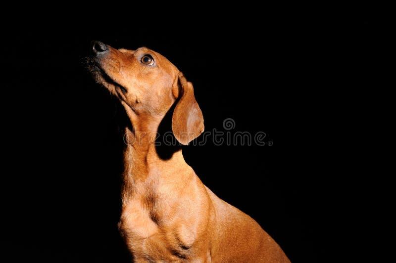 Cão do dachshund de Brown isolado sobre o preto imagens de stock royalty free