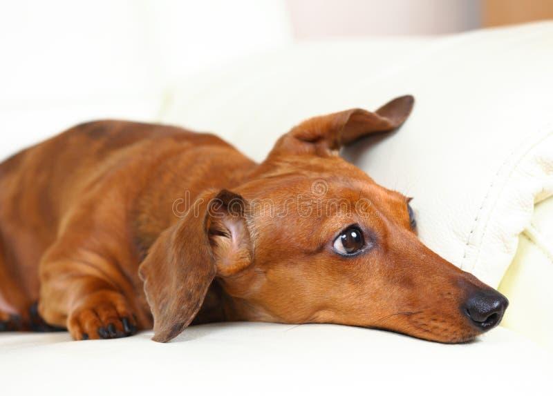 Cão do Dachshund em casa fotos de stock royalty free