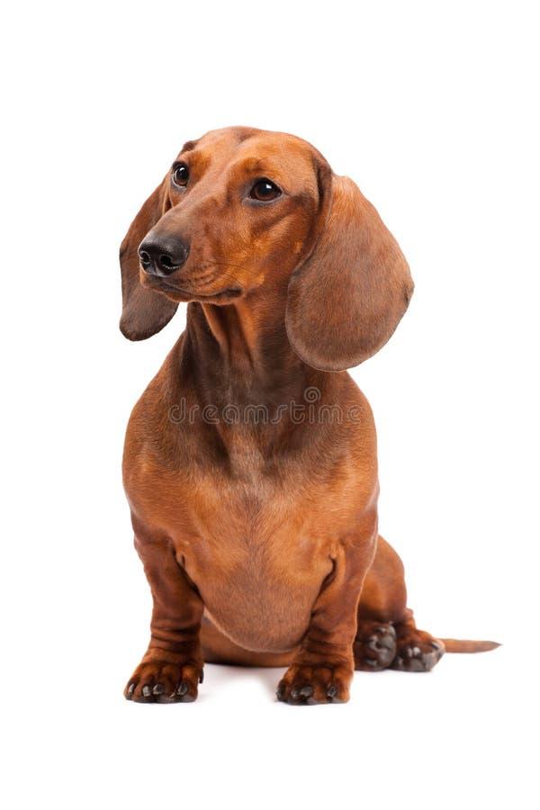 Cão do Dachshund isolado sobre o fundo branco imagem de stock