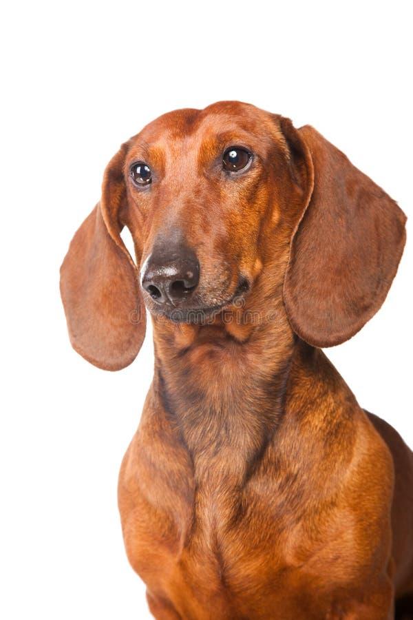 Cão do Dachshund no branco isolado fotografia de stock