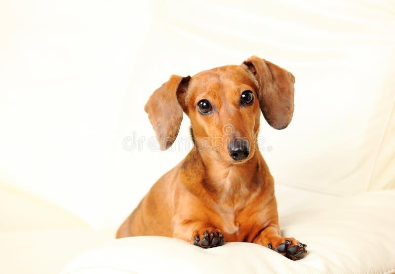 Cão do Dachshund no sofá foto de stock