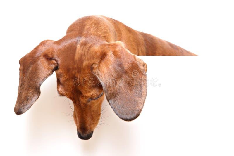 Cão do Dachshund que olha para baixo fotos de stock