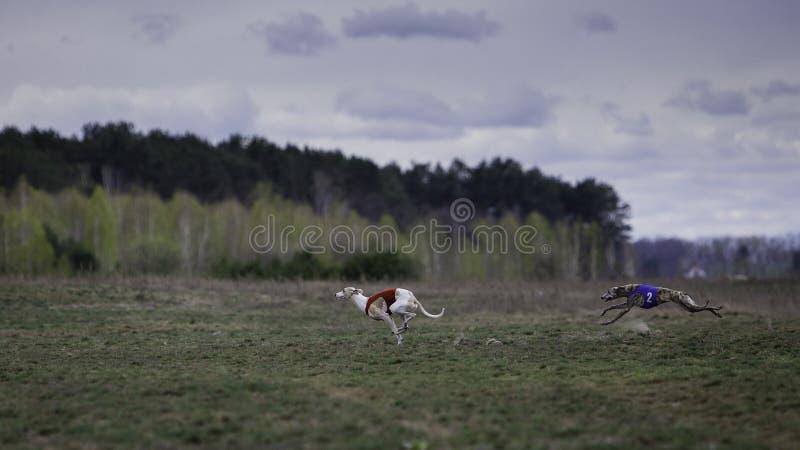 Cão do cão de corrida que corre no campo foto de stock