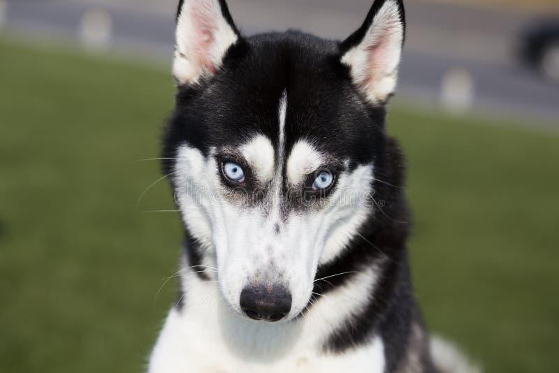 Cão do cão de puxar trenós Siberian imagem de stock royalty free