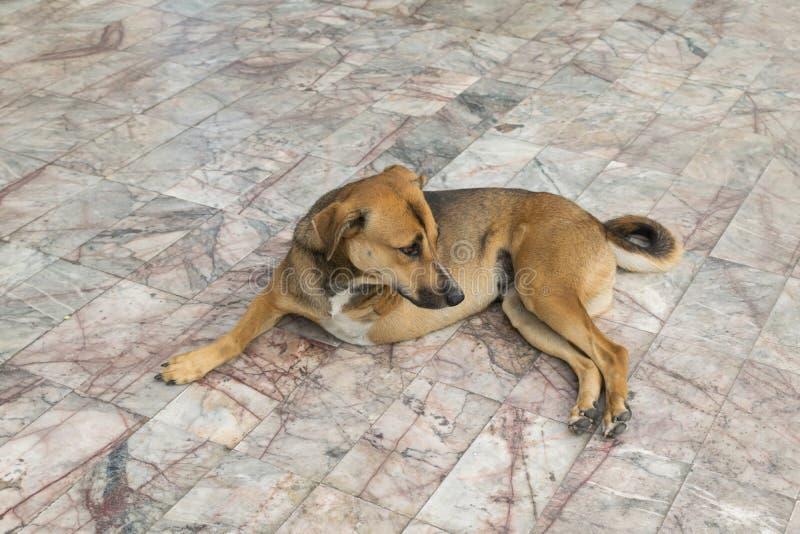 Cão do defeito com três pés fotos de stock royalty free