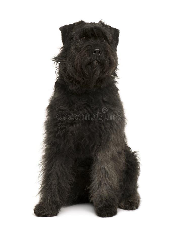 Cão do DES Ardennes de Bouvier, sentando-se imagens de stock