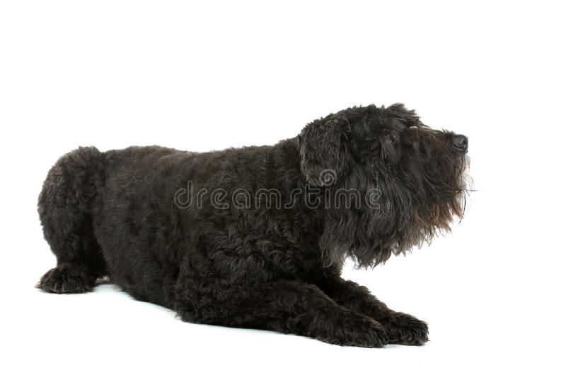Cão do DES de Bouvier Flandres imagem de stock
